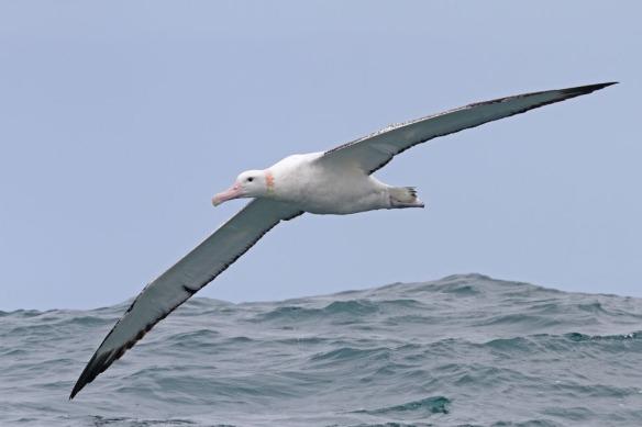 Wandering Albatross Kaikoura 19 Nov 12_990