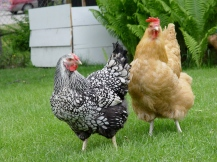 Anchorage_chickens